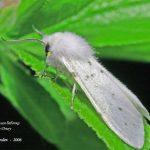 Американський білий метелик – багатоїдний шкідник